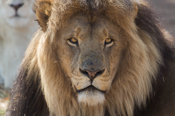 Portrait of a lion Kruger National Park
