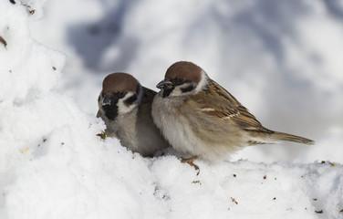 Eurasian tree sparrow - Passer montanus. Eurasian tree sparrow in winter in frosty weather