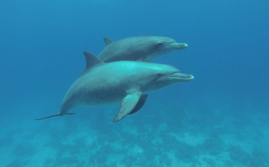 Two dolphins swimming in the sea.