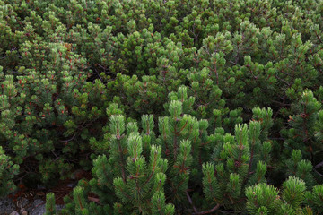 Mountain pine trees forest