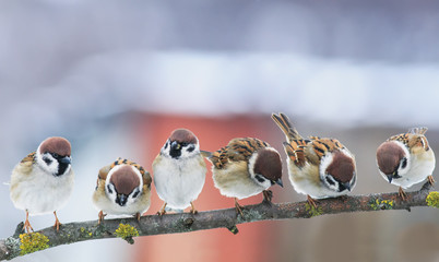 picture many funny little birds sparrows on a branch in the garden on a clear day