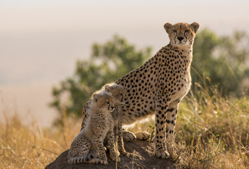 Cheetah and Cubs on a mount