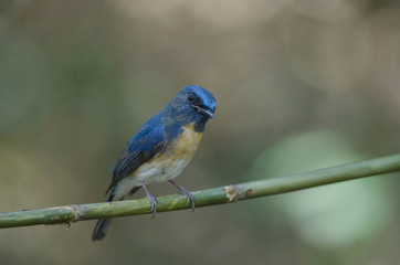 Blue-throated Blue Flycatcher  (Cyornis rubeculoides) on a branch in nature Thailand