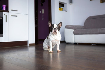 Adorable french bulldog sitting on the living room floor