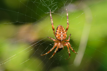 The male of garden-spider is sitting in center of web