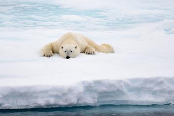 Polar bear lying on ice with snow in Arctic