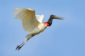 Brazil bird fly. Jabiru, Jabiru mycteria, flying white bird with blue sky, Pantanal, Brazil. Big black and white bird on the sky. Wildlife scene from nature.