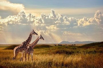 Group of giraffes in the Serengeti National Park. Sunset background. Sky with rays of light in the African savannah. Beautiful african cloudscape.