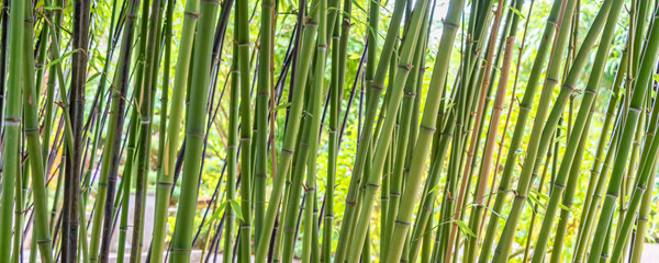 Green bamboos panoramic background