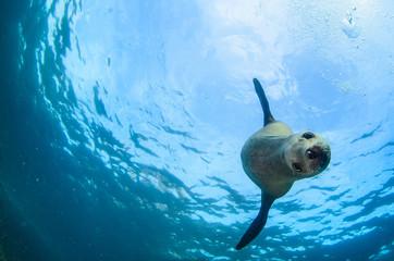 Kalifornijski denny lew pływa i bawić się w rafach los islotes w Espiritu Santo wyspie przy losu angeles paz (Zalophus californianus). Baja California Sur, Meksyk.