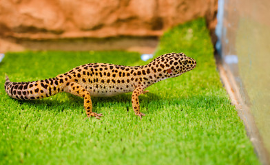 Sublethal leopard (Gecko) sits on green grass in a pet shop in the cage