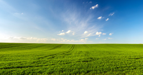 spring landscape panorama,green wheat field