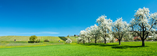 blossoming fruit trees and orchard in a green field with yellow dandelions and a small vineyard in the background