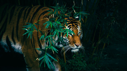 A Bengal Tiger Hiding In The Forest Behind Green Branches