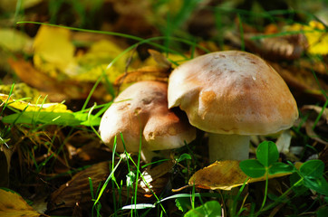 Mushrooms in the autumn forest.