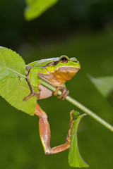 The European tree frog Hyla arborea is a small tree frog found in Europe, Asia and part of Africa.