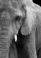 African elephant profile up close in black and white
