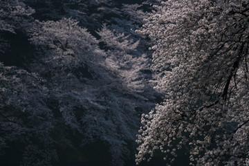 春の東京 千鳥ヶ淵の桜 その1