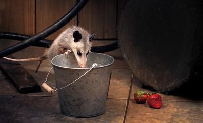 Young  Virginia opossum (Didelphis virginiana) checks what's in the bucket. Night scene, backyard. Texas, United States