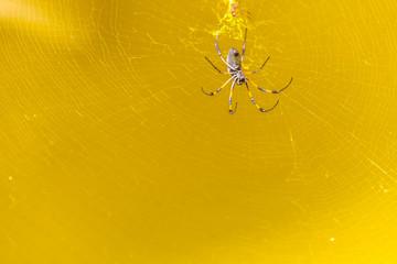 toile dorée de l'araignée Nephila inaurata ardentipes