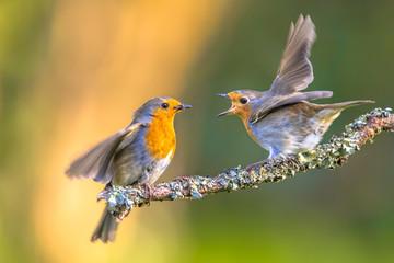 Rodzic Robin karmienie ptaków młodych
