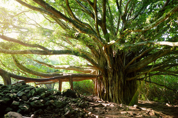 Branches and hanging roots of giant banyan tree growing on famous Pipiwai trail on Maui, Hawaii