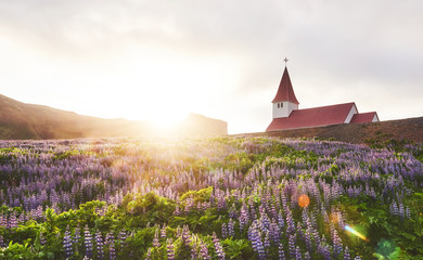 Lutheran church in Vik. The picturesque landscapes of forests and mountains. Wild blue lupine blooming in summer. Orange sunset in Iceland