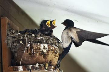 燕の子育て