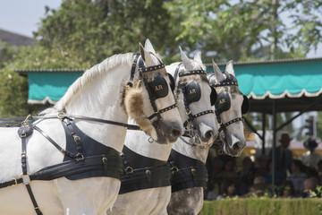 Tres caballos españoles tiran de un carruaje de tradicion