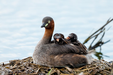 little grebe also known as dabchick, is a member of the grebe family of water birds