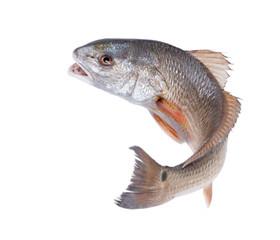 Red Drum (Sciaenops ocellatus). Uciekająca ryba. Pojedynczo na białym tle