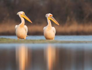 Great white pelicans (Pelecanus onocrotalus)
