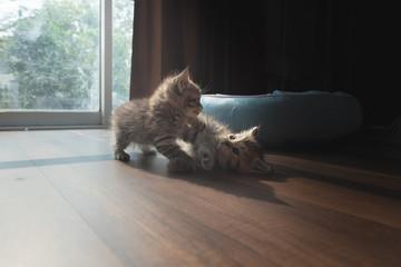Cute persian kitten in home