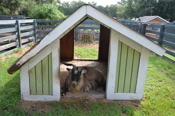 Goat lounging
