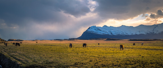 Icelandic wilderness - May 05, 2018: Icelandic horses in the wilderness of Iceland