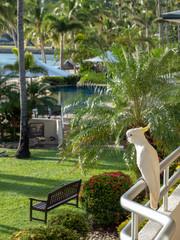 Cockatoo by the pool on Hamilton Island, Australia