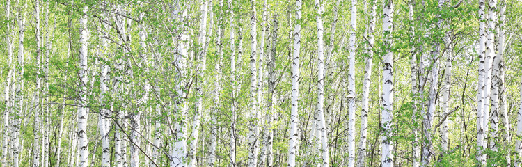Beautiful birch trees with white birch bark in birch grove with green birch leaves in summer