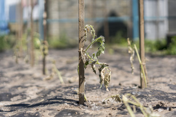 Dry plants from drought in the garden. The dried bush of a tomato. The plant withered from lack of water. World Drought. wilted pot plant. drought. dried plants