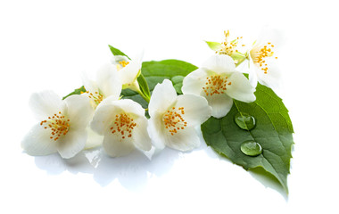 Branch of blooming jasmine on white background.