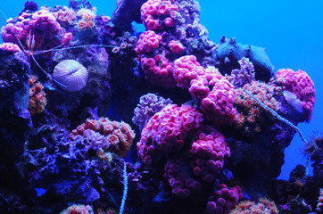 Coral Reef with Brilliant Pink and Blue Colors Underwater