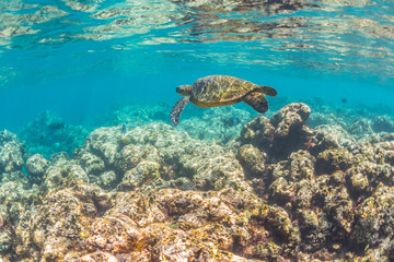 Sea Turtle swimming over the reef