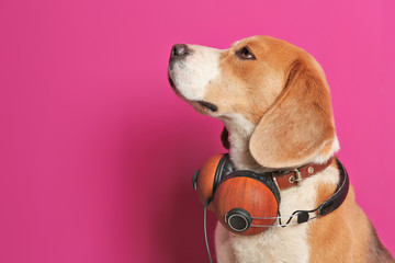 Cute Beagle dog with headphones on color background