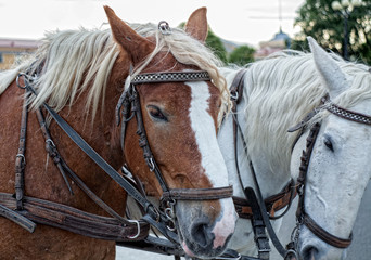 Portrait of two horses, white and bay, harnessed to a cart with harness at the city street
