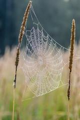 The web between tall grass stems