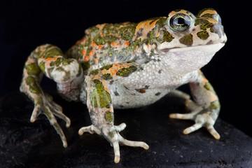 Italian green toad (Bufotes balearicus,)
