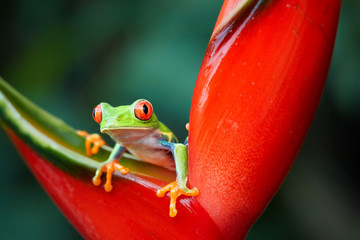 Agalychnis callidryas,tropical Red-eyed tree frog, non-toxic,colorful arboreal frog with red eyes and toes,vibrant green body and blue feets,staring from red heliconia flower. Rainforest wildlife.