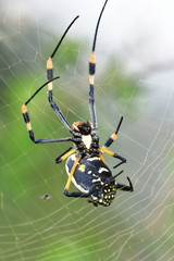 Golden orb spider.Kruger National park in South Africa