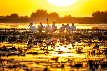 Typical sunset in the Danube Delta Romania with Pelicans preparing to sleep