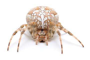 Brown house spider.