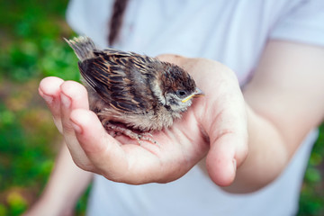 small bird of a sparrow on the hand of a child's girl, a concept of caring and protecting the environment, ecology